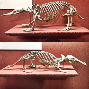 Field Museum-Monotremes
