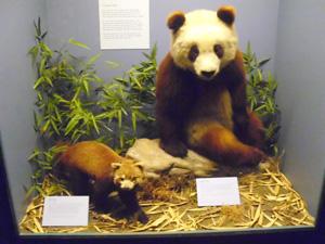 Field Museum-pandas