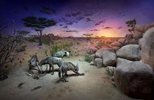 Field Museum-striped hyenas